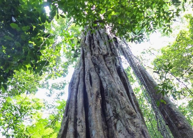 Árvore Floresta Nacional do Tapajós