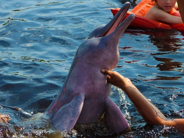Boto cor-de-rosa no Rio Negro