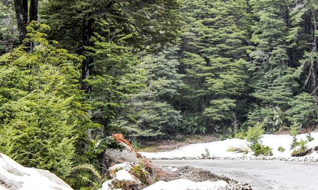 Ciprestes no Parque Nacional Lanin.