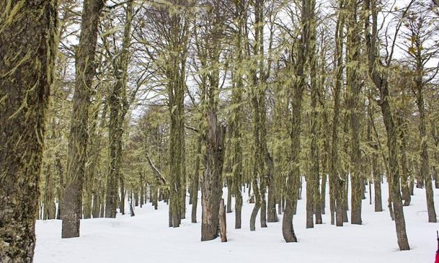 Bosque de lengas em Chapelco.