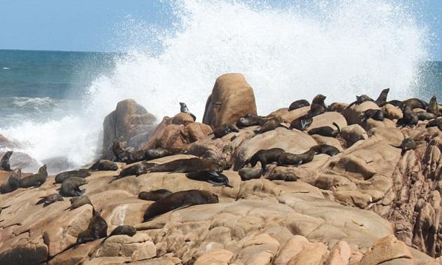Leões-marinhos em Cabo Polônio.