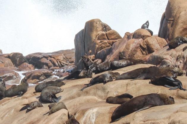 o-que-fazer-cabo-polonio-lobo-marinho