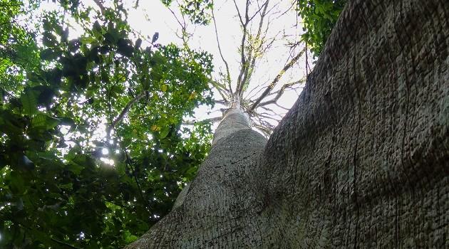 Quer conhecer a Floresta Amazônica de verdade? Umas das maneiras mais autênticas é percorrer as trilhas com a ajuda dos  guias que vivem em Jamaraquá.